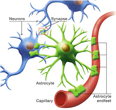 Astrocytes, neurons and capillaries